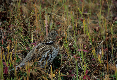 Ruffed Grouse-106