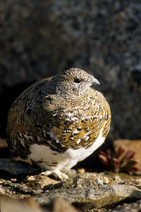 White-tailed Ptarmigan-113