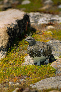 White-tailed Ptarmigan-122