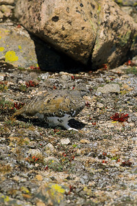 White-tailed Ptarmigan-121