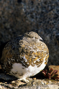 White-tailed Ptarmigan-114