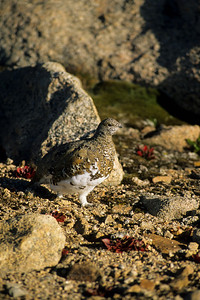 White-tailed Ptarmigan-129