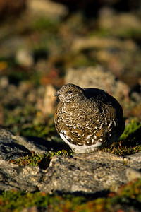 White-tailed Ptarmigan-126