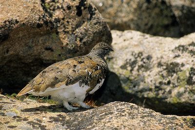 White-tailed Ptarmigan-111