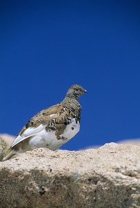 White-tailed Ptarmigan-101