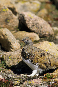 White-tailed Ptarmigan-117