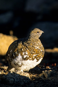 White-tailed Ptarmigan-124
