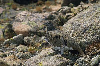 White-tailed Ptarmigan-104