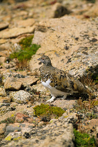 White-tailed Ptarmigan-132