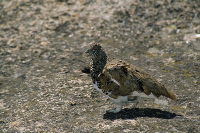 White-tailed Ptarmigan-120