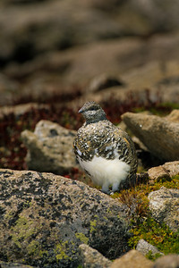 White-tailed Ptarmigan-108
