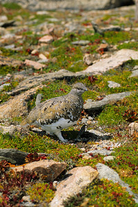 White-tailed Ptarmigan-130