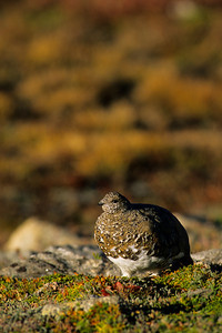 White-tailed Ptarmigan-127