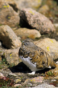 White-tailed Ptarmigan-118