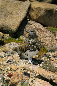 White-tailed Ptarmigan-109