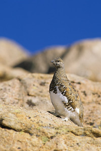 White-tailed Ptarmigan-116