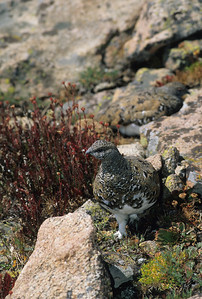 White-tailed Ptarmigan-103