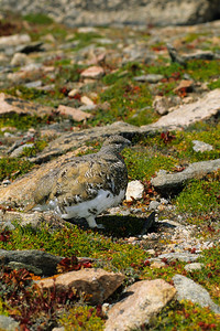 White-tailed Ptarmigan-123