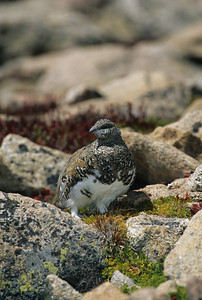 White-tailed Ptarmigan-102