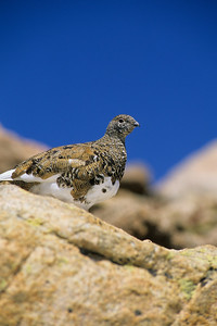 White-tailed Ptarmigan-106