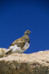 White-tailed Ptarmigan-112