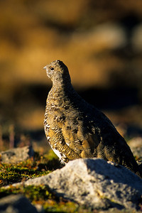 White-tailed Ptarmigan-125