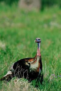 Wild Turkey-101