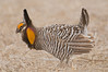 APC-9021: Prairie Chicken on Lek