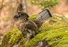 Male Ruffed Grouse