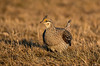 AST-13-6: Sharptail Grouse on Lek