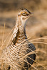 APC-9085: Prairie Chicken cackle