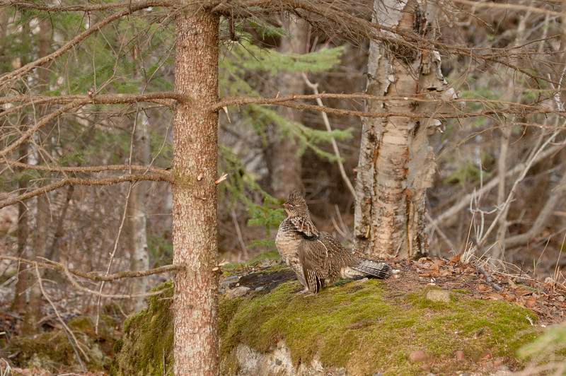 ARG-11211: Ruffed Grouse in habitat