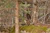 ARG-11211: Ruffed Grouse in habitat