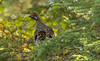 Male Spruce Grouse in pine tree