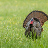 Wild Turkey, Cades Cove, Tennessee