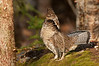 ARG-11196: Displaying male Ruffed Grouse