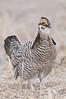 APC-9009: Cackling Prairie Chicken