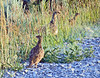 Young Greater-Sage Grouse (Grice)