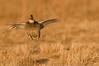APC-9058: Frustrated Prairie Chicken