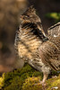 ARG-13-33: Ruffed Grouse portrait