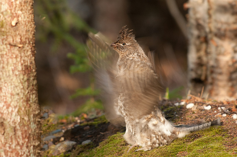 ARG-11193: Drumming Ruffed Grouse