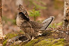 ARG-11079: Male Ruffed Grouse in display