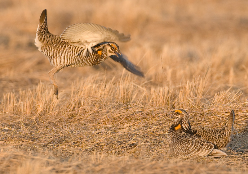 APC-9082-Fighting Male Prairie Chickens