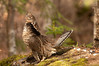 ARG-11111: Male Ruffed Grouse