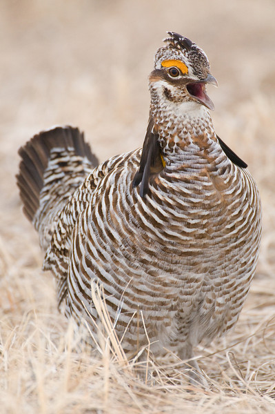 APC-9032 Cackling Prairie Chicken