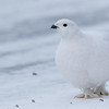 Willow Ptarmigan - Yellowknife, Northwest Territories, Canada