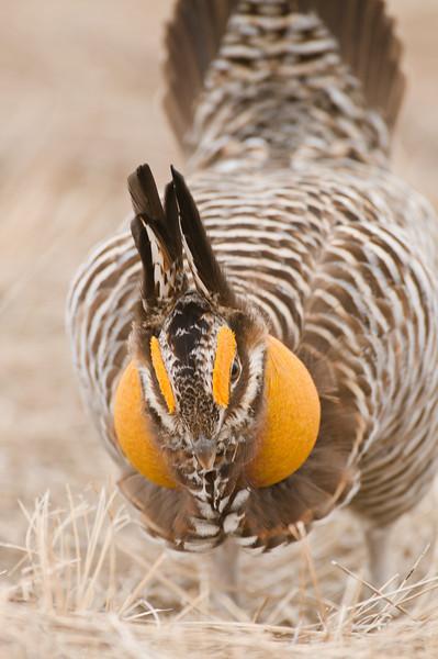 APC-9038: Booming Prairie Chicken