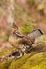 ARG-11056: Ruffed Grouse