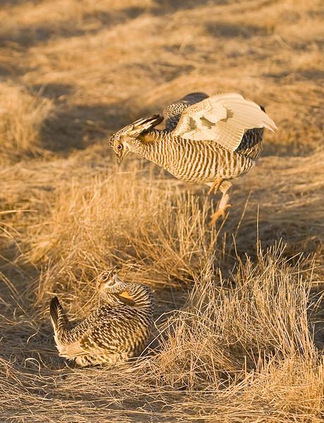 APC-9102: Fighting Prairie Chickens