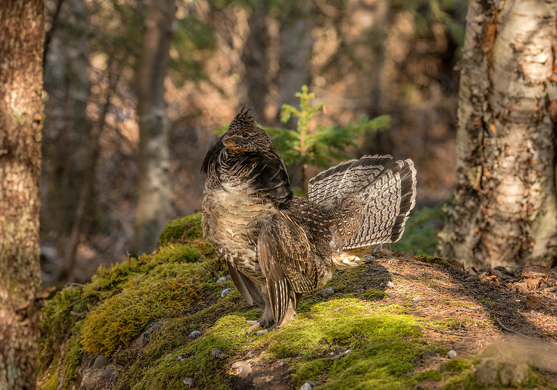 ARG-13-12: Displaying male Ruffed Grouse